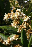 Mespila Flowers in Bloom