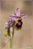 Wolzwever Ophrys - Ophrys tenthredinifera