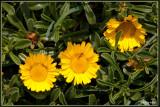 Dukaatbloem - Asteriscus maritimus