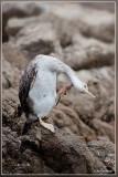 Aalscholver - Phalacrocorax carbo