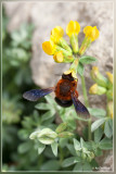 Megachile (Chalicodoma) sicula balearica
