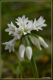 Driekantig look - Allium triquetrum