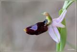 Ophrys bertolonii Balearica