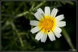 Gekroonde ganzenbloem - Chrysanthemum coronarium var. discolor