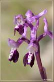 Langsporige harlekijns orchis - Orchis longicornu