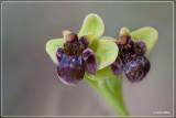 Ophrys bombylifera