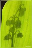 Lelietje-van-dalen of meiklokje - Convallaria majalis