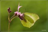 Citroenvlinder - Gonepteryx rhamni