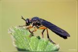 Zwartvleugelroofvlieg - Dioctria oelandica