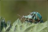 Groene snuitkever - Phyllobius argentatus