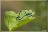 Azuurjuffer (Coenagrion puella)
