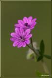 Zachte ooievaarsbek - Geranium molle