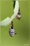 Twintigstippelig Wilgenhaantje - Chrysomela vigintipunctata