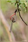 Vuurjuffer - Pyrrhosoma nymphula