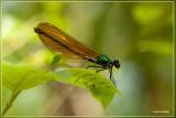 Bosbeekjuffer - Calopteryx virgo (vrouw)