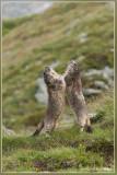 Alpenmarmot - Marmota marmota