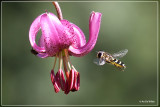 Turkse lelie - Liliaceae martagon