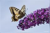 Koninginnepage - Papilio machao