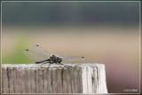 Zwarte heidelibel - Sympetrum danae