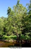 220  Tree Along The River.jpg