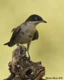 Orphean warbler
