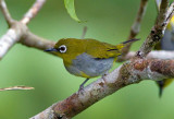 Fulvettas and White-eyes of Malaysia