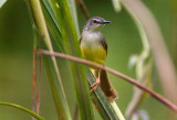 Warblers,Tailorbirds and Prinias of Malaysia
