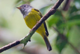 Gray Headed Canary Flycatcher