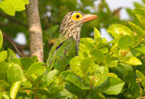 Linneated Barbet