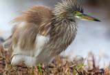 Chinese Pond Heron