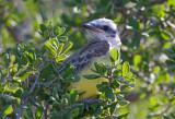 Couchs Kingbird (juvenile)
