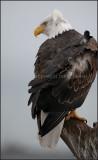 alaska - bald eagle