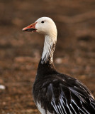Snow Goose (blue phase)