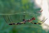 Golden Silk Spider