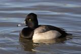 Hybrid Aythya Duck