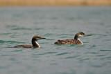 Pacific Loon and Common Loon