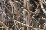 Brown-capped Rosy Finches