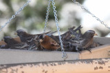 Black and Gray-crowned Rosy-Finches