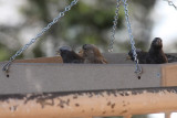 Brown-capped and Black Rosy-Finches
