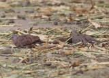Ruddy Ground-Doves