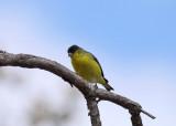 _Lesser Goldfinch
