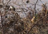 Brahminy Starling & Yellow-eyed Babbler