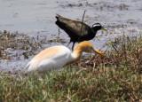 Cattle Egret & Bronze-winged Jacana