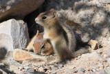 Golden-mantled Ground Squirrels