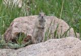 Ground-Squirrel sp.