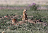 White-tailed Prairie Dogs
