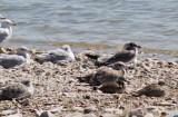 Franklin's,California & Ring-billed Gulls, Willets