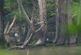 Wood Storks & Anhinga