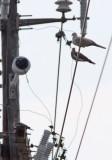 White-winged & Eurasian Collared Doves
