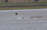 Bald Eagle attack on Coots